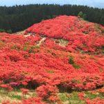 Azalea in Mt. Katsuragi