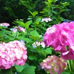 Hydrangea, blooming in the rainy season
