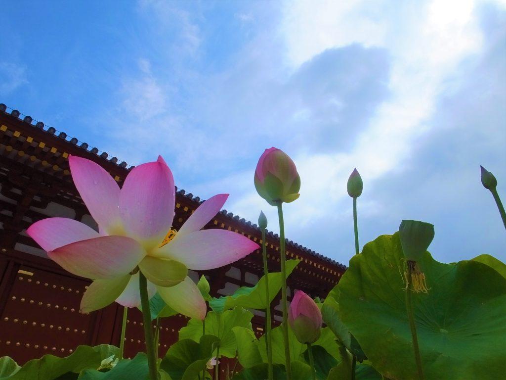 Lotus at Yakushiji Temple