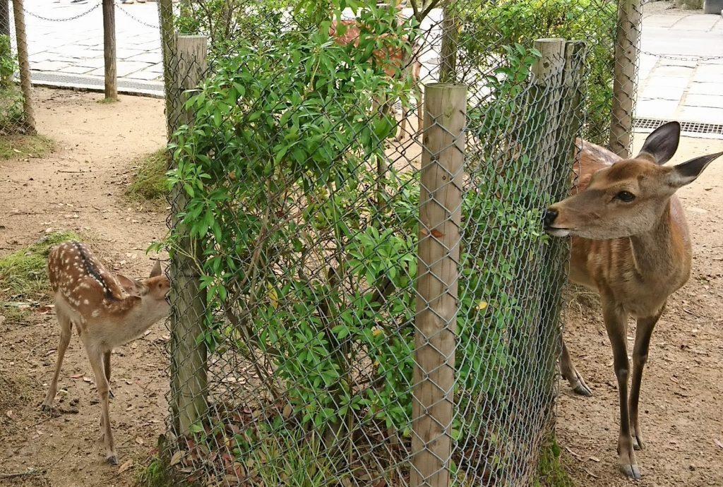 Bambi of Nara Park
