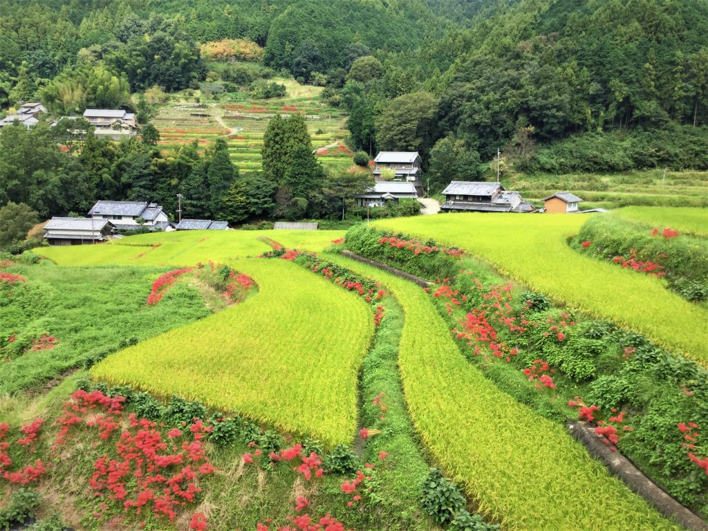 Beautiful Autumn Contrast of Green Rice Stalk and Red Spider Lily in Asuka