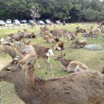 Giving Deer Crackers to Deer in Nara Park