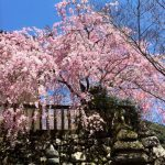 Cherry Blossom Spots of Nara. Predictions of the 2020 Cherry Blossom Blooming!