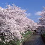 Hidden Cherry Blossom Spots of Nara  -Sahogawa River-