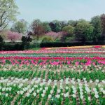 The Tulips at Nara Prefecture's Umamikyuryo Park
