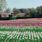 The Tulips at Nara Prefecture's Umamikyuryo Park