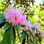The Beautiful Season of Rhododendrons