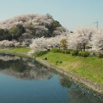 Cherry Blossoms in Full Bloom in Nara Prefecture