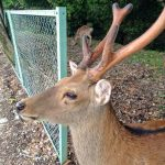 The Velvet Antlers of Deer
