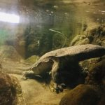 Japanese Giant Salamander in Akame 48 Waterfalls