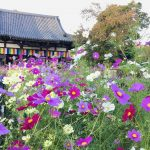 Autumn Cosmos Flower, Hannyaji Temple