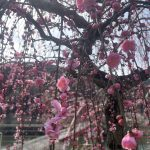 The Spring Is Almost There! Japanese Plum in Tsukigase